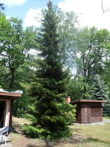 One of the fir trees around the house.
